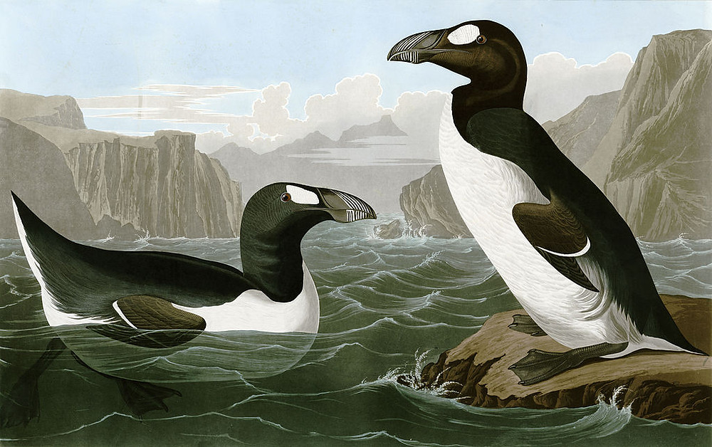 drawing of two great auk