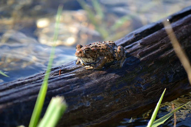 A toad on a log, as in Aesop's fable of King Log