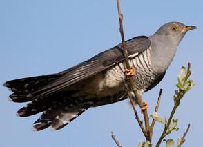 Cuckoo-penny