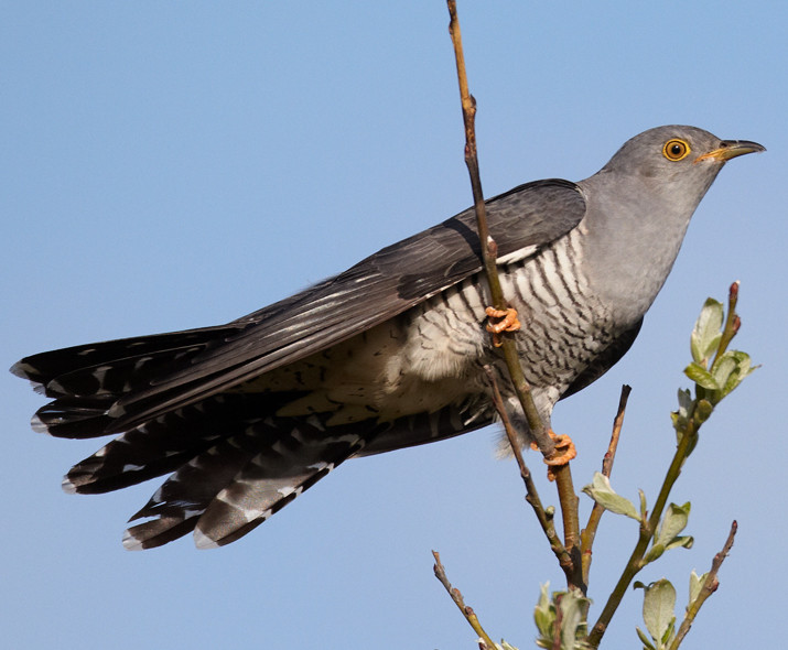 cuckoo sitting in the branch of a tall tree