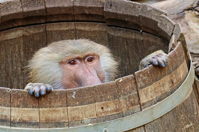 Baboon in a barrel, origin of the word bamboozle