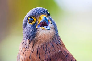 portrait-of-a-rock-kestrel-3029352_640_e