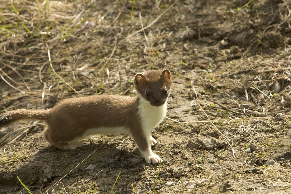 stoat on muddy ground