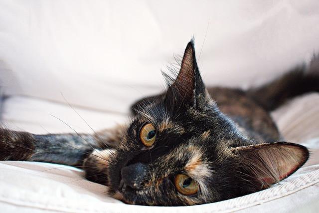 A tortoiseshell cat lying on its side