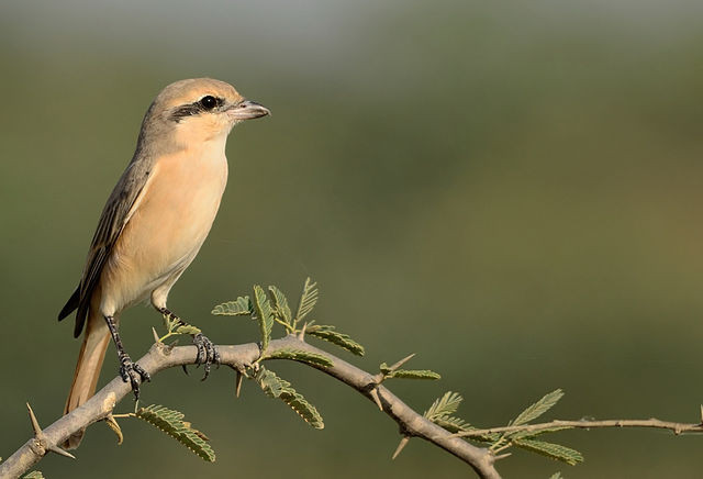 An isabelline shrike, Lanius isabellinus on a branch