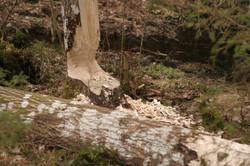 Bevers knagen bomen...