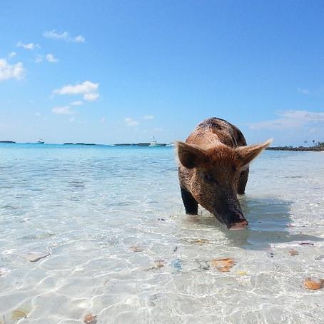Bahamas: Where Pigs Swim