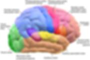 Blausen_0102_Brain_Motor&Sensory_(flippe