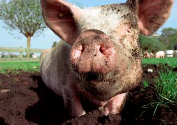 Hopelijk komend voorjaar al de varkens