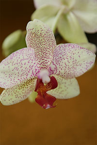 orchid_photo_150.jpg