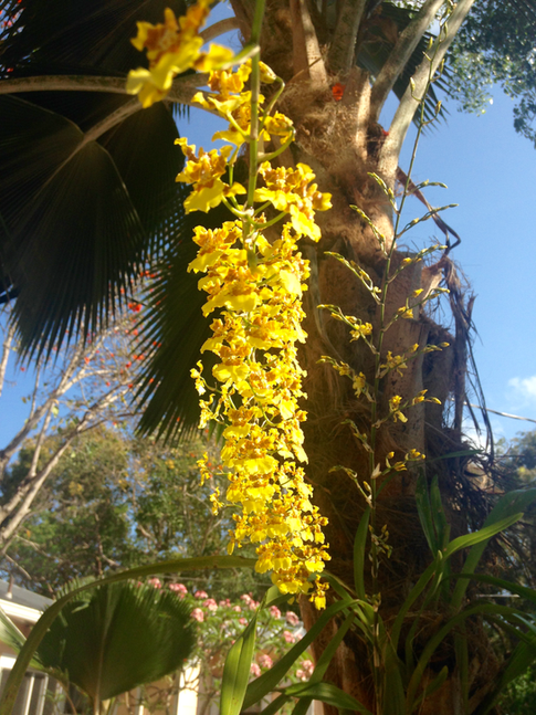 Oncidesa Orchids