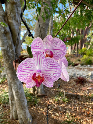 One of many varieties of Phalaenopsis