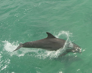 Porpoise appears at WeddingsWedding at Historic Shadow Point in Key Largo
