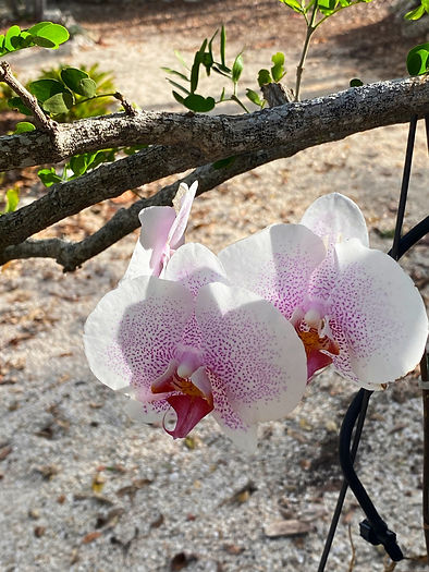 another unique phalaenopsis