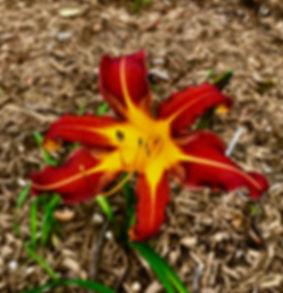 Lilys blooming in the Keys