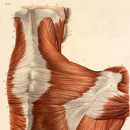 Muscles of The Shoulder - Original Mounted 1847 Print