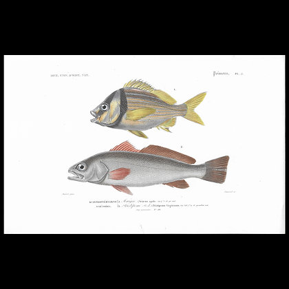 Pork Fish and Shade Fish -  1863 Print