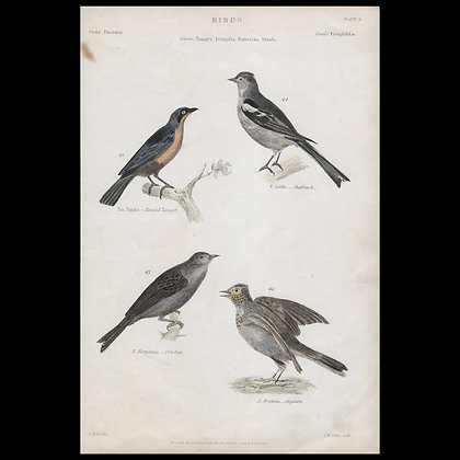 Various Birds including Chaffinch  - Circa 1840 Hand coloured Print