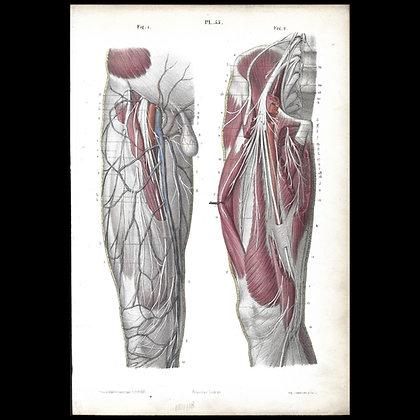 Plate 55 - Nerves of the Leg. Original 1866 Print.