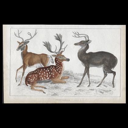 Deer - 1858 Hand Watercoloured Print