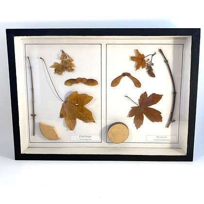 Field Maple and Sycamore  - Botanical Specimens
