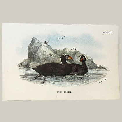 Surf Scoter, Small Plate Print -1893