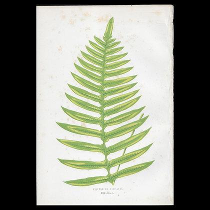 Polypodium vacillans - Circa 1860 Print