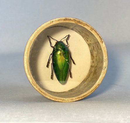 Jewel Beetle -Sternocera aequisignata - Bug Pot