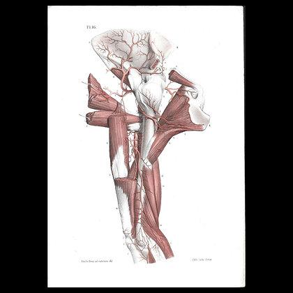 Plate 16 - Arteries of the Arm. Original 1847 Print.