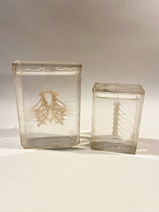 CLEARANCE - 2 Small Wet Specimens