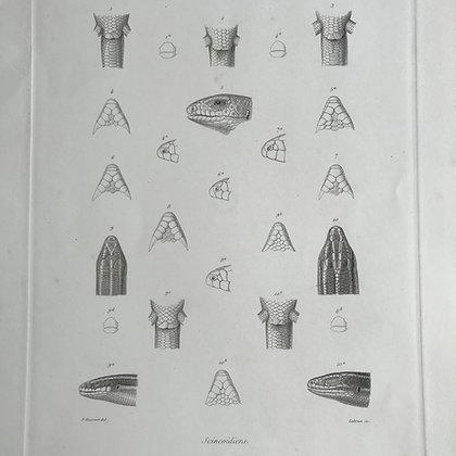 Scincoidiens - 1861 Plate 22 E