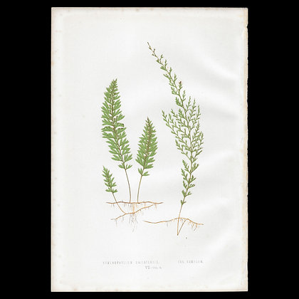 Hymenophyllum unilaterale - Circa 1860 Print