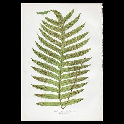 Polypodium dictyocallis - Circa 1860 Print