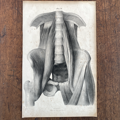 Large Lithograph Print Showing Lumbar Muscles - Plate 30
