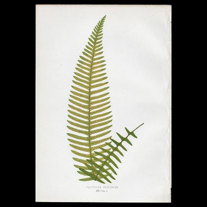 Polypodium pectinatum Fern - Circa 1860 Print