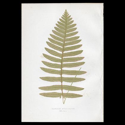 Polypodium appendiculatum - Circa 1860 Print