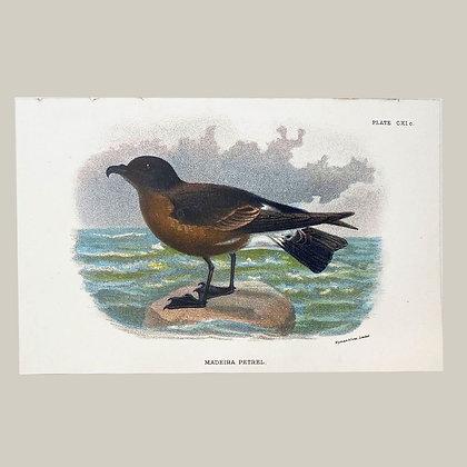 Maderia Petrel, Small Plate Print -1893