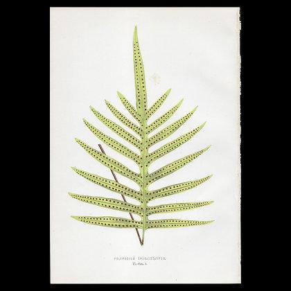 Polypodium sporadocarpum - Circa 1860 Print