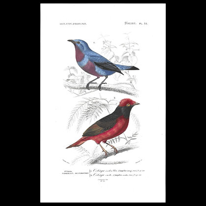 Purple Cotinga and Red Cotinga Handcoloured 1863 Print