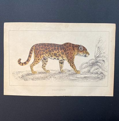 Leopard - 1858 Hand Watercoloured Print