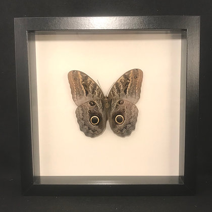 Framed Giant Owl Butterfly (Caligo memnon)