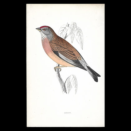 Linnet - Handcoloured Print Circa 1880