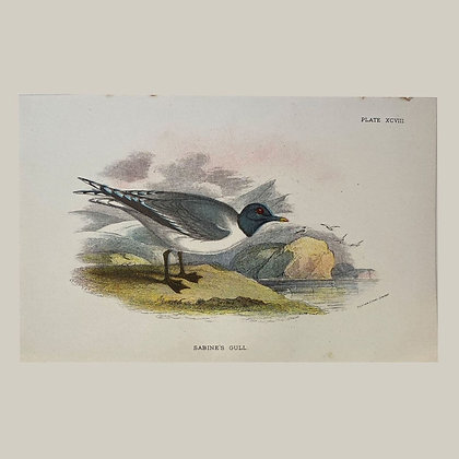 Sabines Gull, Small Plate Print -1893
