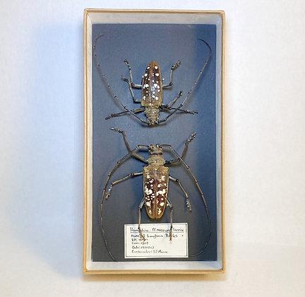 Ex Museum, Longhorn Beetles