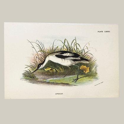 Avocet, Small Plate Print -1893