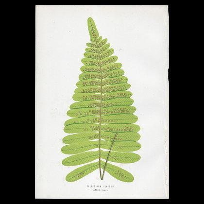 Polypodium claucum - Circa 1860 Print