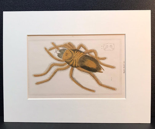Arachnid Plate 14B - Hand Coloured Circa 1860