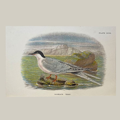 Roseate Tern, Small Plate Print -1893
