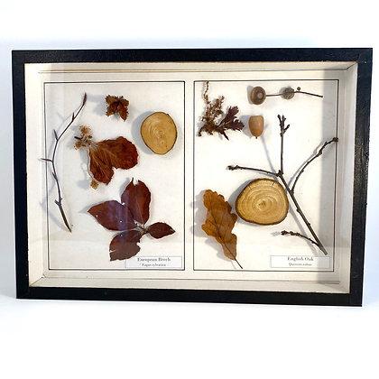European Beech and English Oak  - Botanical Specimens
