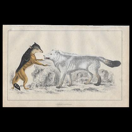 Wolf - 1858 Hand Watercoloured Print